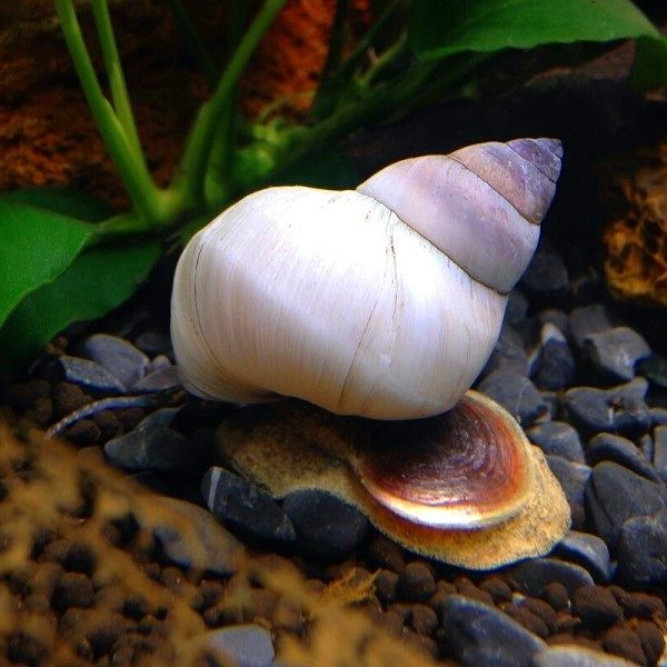 White Wizard Snail