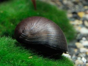 Black Military Helmet Nerite Snail