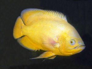 Astronotus ocellatus «Lemon»