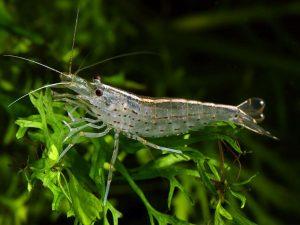 Amano Shrimp