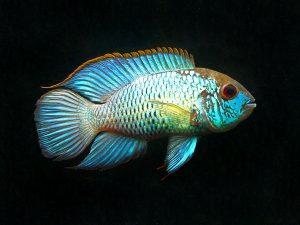 Andinoacara pulcher «Electric Blue»
