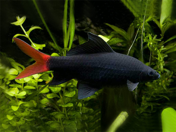 Epalzeorhynchos bicolor