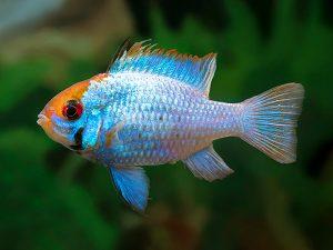 Mikrogeophagus ramirezi «Electric Blue»