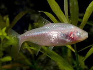 Astyanax mexicanus
