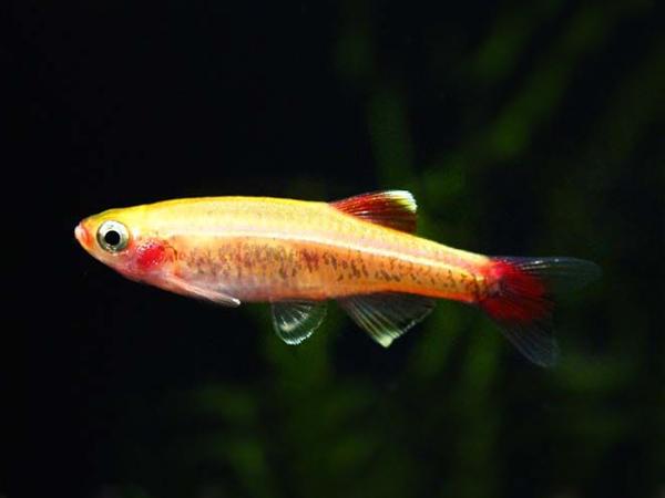 Tanichthys albonubes «Gold Red»