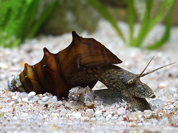 Pagoda Snail