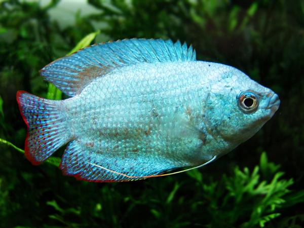 Trichogaster lalius «Blue Coral»