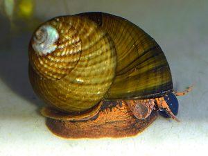 Green Torpedo Snail
