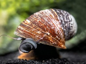 Red Lipped Snail