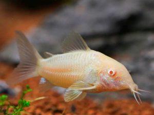 Corydoras aeneus«Albino»