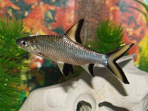 Balantiocheilos melanopterus