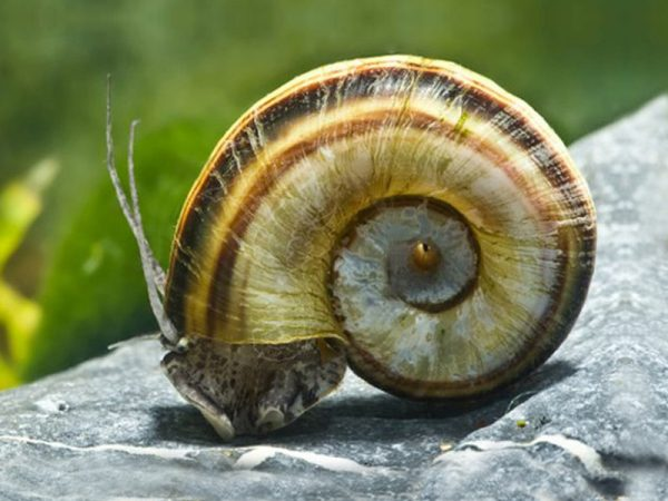 Giant Colombian Ramshorn Snail