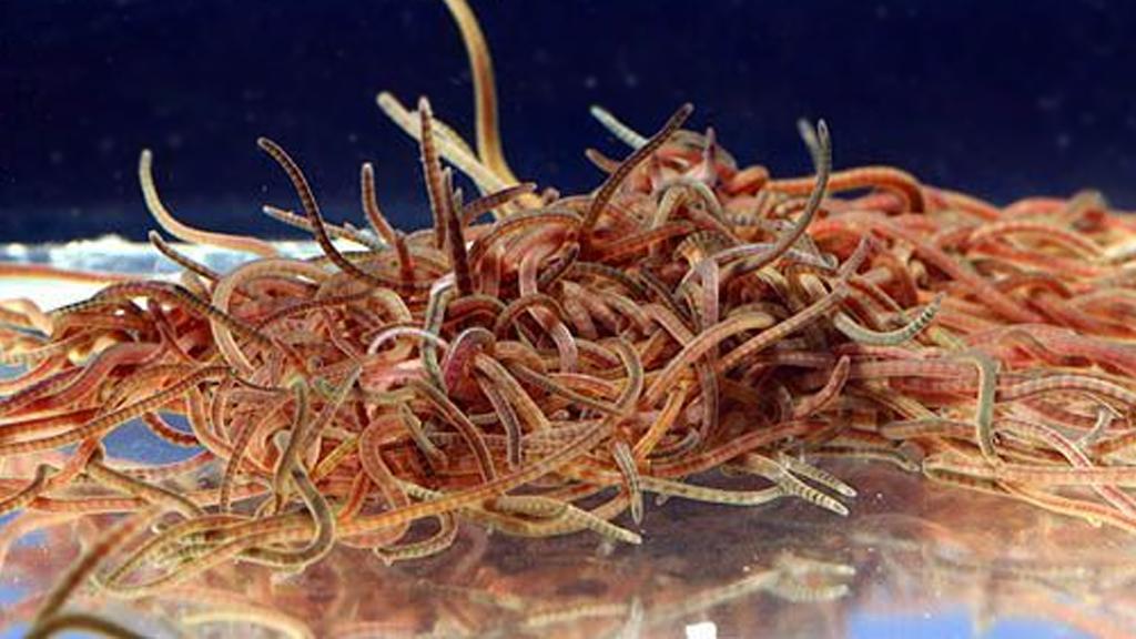 Live California Blackworms