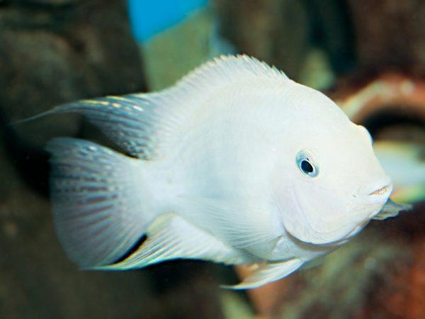 Amatitlania nigrofasciata «Albino»
