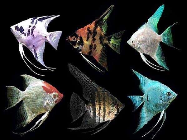 Assorted Angelfish