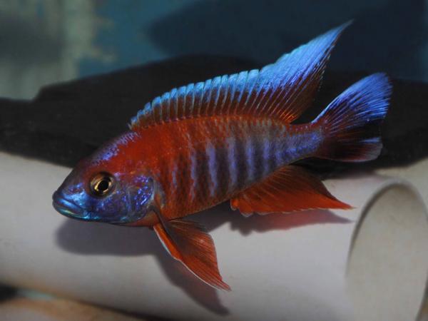Aulonocara jacobfreibergi «Eureka Red»