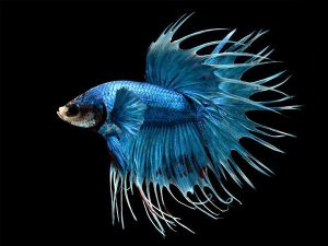 Betta splendens «Blue Crowntail»