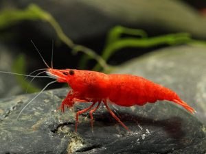 Bloody Mary Red Cherry Shrimp