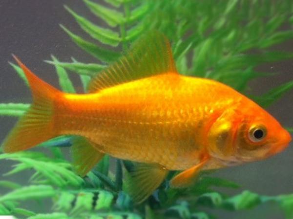Canary Yellow Goldfish