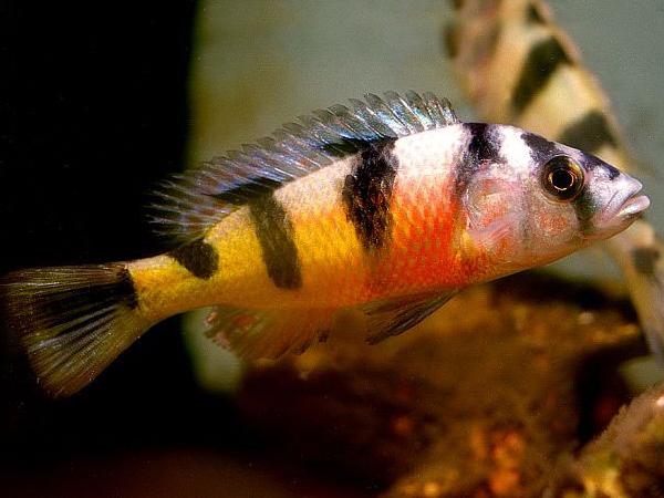 Haplochromis latifasciatus