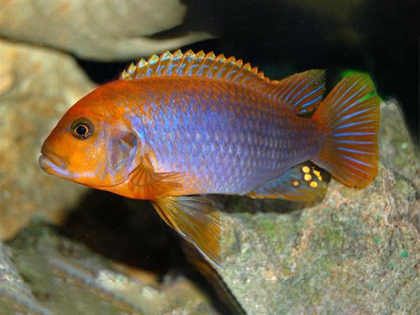 Lodotropheus sprengerae