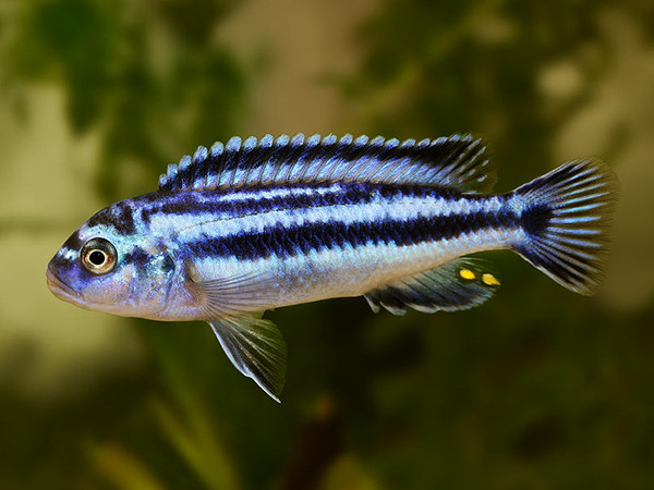 Melanochromis johanni