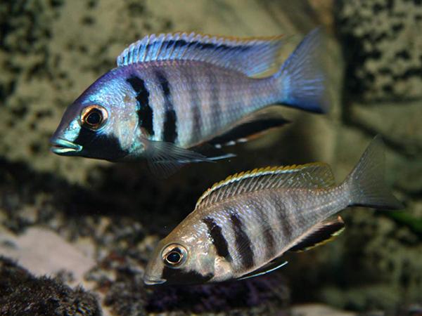 Placidochromis electra