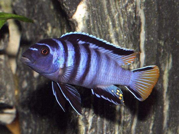 Pseudotropheus elongatus «Mpanga»