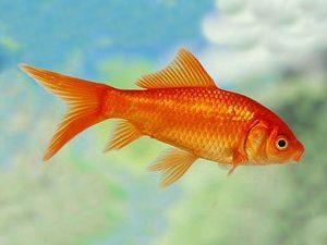 Red Comet Goldfish
