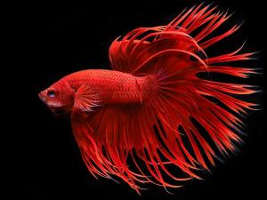 Betta splendens «Red Crowntail»