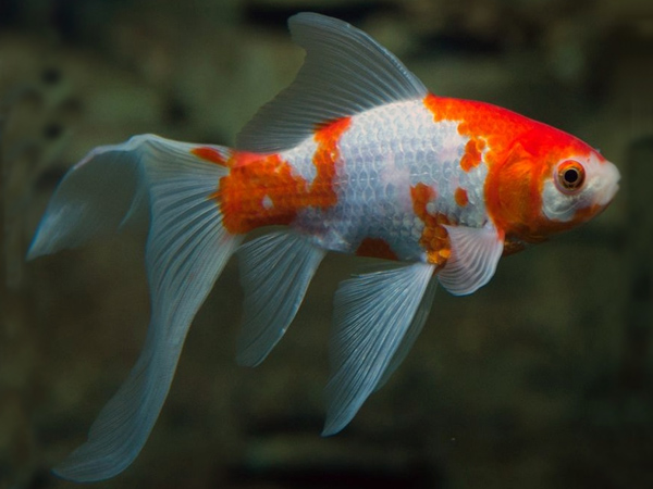 Red & White Comet Goldfish