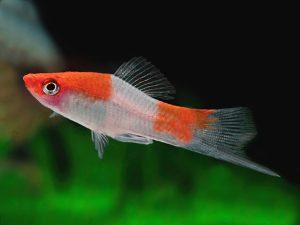 Xiphophorus hellerii « Koi Albino»