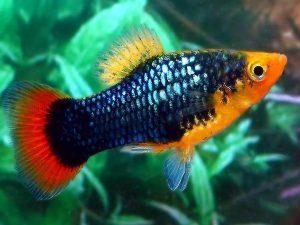 Xiphophorus variatus «Black»