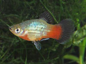 Xiphophorus variatus «Rainbow»