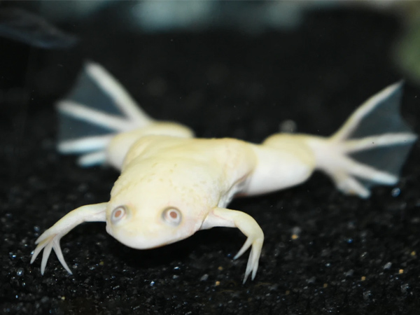 African Albino Clawed Frog