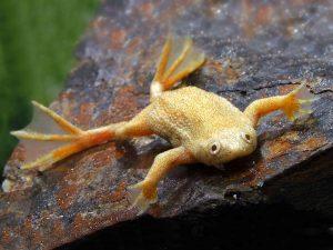 African Golden Dwarf Frog