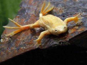 Aquatic Frogs