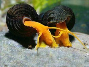 Aquatic Snails