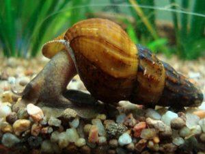 Brotia Costula Snail
