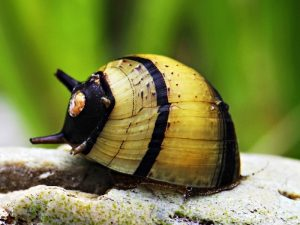 Bumblebee Nerite Snail