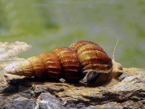 Giant Tower Cap Snail