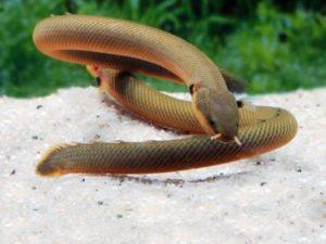 Reedfish