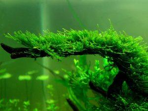 Single Portion Java Moss