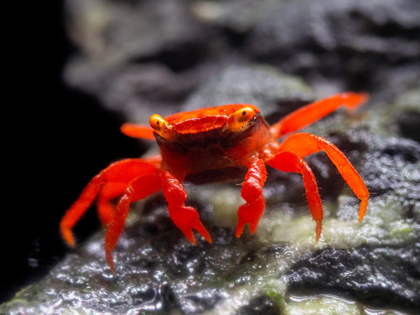 Tomato Vampire Crab