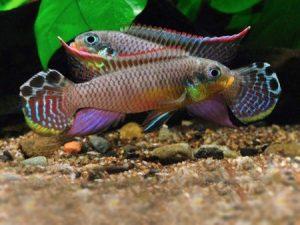 West African Cichlids