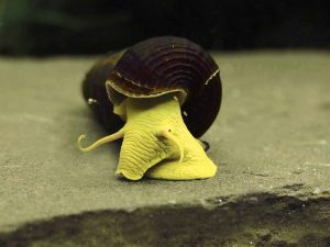 Yellow Rabbit Snail